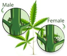 What is Weed? Your Complete Guide to Understanding Cannabis Medical Benefits Of Cannabis, Medical Marijuana, Marijuana Plants, Cannabis Plant, What Are Weeds, Grow Shop, Cannabis Growing, Belle, Plants
