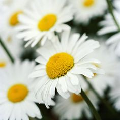 Daisy        Daisies offer a simplistic beauty that works well in any cottage garden. Their bright white blooms with sunny yellow centers are perfect for beds and borders, as well as vases.        Name: Leucanthemum varieties        Growing conditions: Full sun to part shade and well-drained soil        Height: To 3 feet tall        Zones: 4-8
