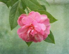 Southern Camellia Flower by Kim Hojnacki #flowers #nature #fineartprint #homeideas #wallart #southern #interiordesign