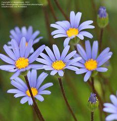 Blue Daisy, Blue Marguerite (Felicia amelloides)
