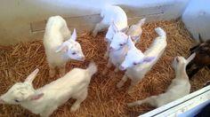 Ferme de Cabriole Chevreaux - visite - sortie - découverte - enfants - ferme - nature - animaux - chèvres