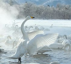 This was one of the Runners Up in the Bird Guides 2012 Photography Comp. I actually think this would have been my winner. Check out the full shortlist - some cracking shots on there. Bird Guides, Japan Photo, Nature Photography, Scenery, Creatures, Birds, Swans, Animals, Finland