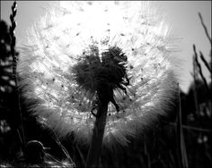 a dandelion makes my heart melt because my sweet Talen gives them to me all the time. <3