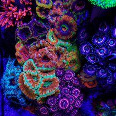 IMG_20161028_192702.jpg coral under black light.