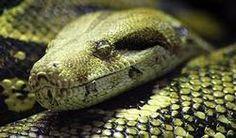 Morsures de serpent : le fléau dont on ne parle pas   PassionSanté.be
