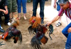 Pelea de gallos en Puerto Rico - Terrible but still part of the culture!