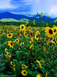 Wild Sunflowers in Taos, New Mexico