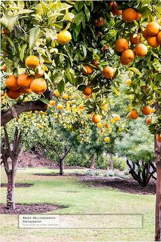 Oranges, Tikida Gardens, Marrakesh, Morocco