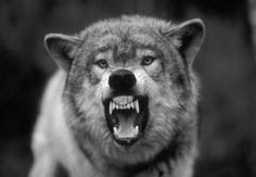 Tails high, stand tall and snarl: Fascinating pictures of snarling wolves
