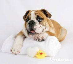 Cleaning Bulldog Wrinkles