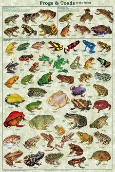 This frog and toad poster is the perfect introduction to the study of amphibians. Les Reptiles, Reptiles And Amphibians, Mammals, Frosch Illustration, Bird Illustration, Animals And Pets, Cute Animals, Frog Species, Frog Art