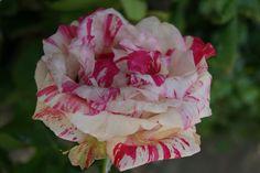 Entre rosa y blanco