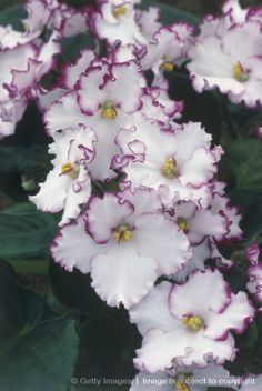 African Violet Flowers Photograph - African Violet Flowers Fine Art ...