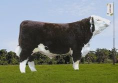 Invasor - Hereford Mocho