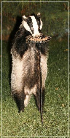 standing badger