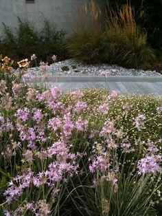 Un quadrato di giardino :: Discussione: Piante d'estate in bordura da giardino-stipa-Erigeron karvinskianus-geranium-Tulbaghia... (1/1)