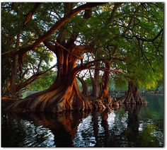 cypress trees in Mexico