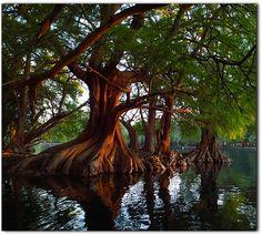 Cyprus Trees, Michoacan, Mexico