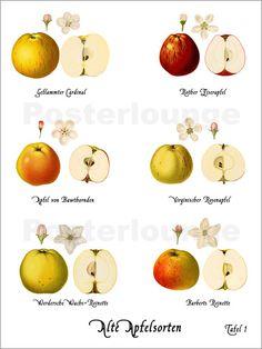 beliebte apfelsorten aus deutschem anbau apple. Black Bedroom Furniture Sets. Home Design Ideas