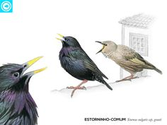 Birds of the Azores on Behance