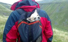 When the going gets tough ..... the tough get in a pack.   One clever Chihuahua by www.cumbria-dog-training.com, via Flickr