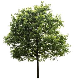 Explore Hd Tree Render, Oak Tree, Trees To Plant, Tree Photoshop, - Transparent Background Trees Png and upload more creative png images on Sccpre.