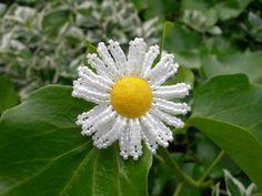 seed beaded daisy with yellow felt button centre Seed Beads, Dandelion, Centre, Beading, Daisy, Seeds, Felt, Button, Yellow