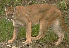 El Puma en los Felinos de los Félidos, familia Felidae