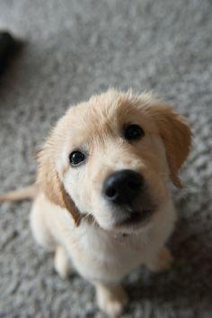Golden retriever | puppy | Dog
