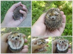 I know this has already been shared a bunch, but it so makes me want to get a hedgehog for my next pet!