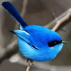 The blue fairy wren of Australia. I want a blue fairy. Pretty Birds, Love Birds, Beautiful Birds, Animals Beautiful, Cute Animals, Humorous Animals, Beautiful Pictures, Three Birds, Birds 2