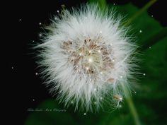 Dandelion, Art Photography, Flowers, Plants, Fine Art Photography, Dandelions, Plant, Taraxacum Officinale, Royal Icing Flowers