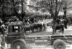 Concurso de ganado vacuno en Andra Mari, 15 de mayo de 1961 (Colección Arcihvo municipal) (ref. 00611)