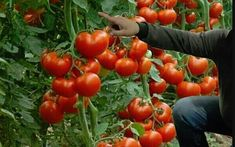 Growing Tomatoes, Farm Gardens, Vegetables, Baby Memes, Gardening, Solar, Permaculture, Agriculture, Gardens