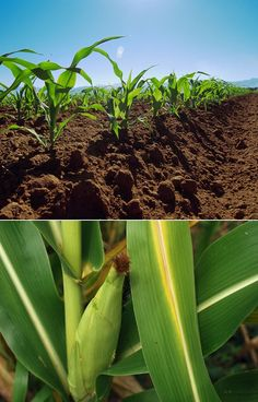 The Best Way To Grow Corn  Fertilizing : Corn is unique in that it grows above ground. This enables the gardener to fertilize by side dressing, applying a band of organic granular fertilizer directly to the soil surface around the base of the plant. Apply according to rates indicated on package before fruit set.