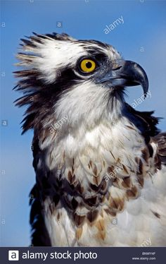 An Osprey Makes A Majestic Raptor Portrait Of A Fish-eating Bird ...