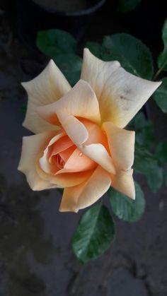 Beautiful Rose Flowers, Flowers Nature, Amazing Flowers, Beautiful Flowers, Flor Iphone Wallpaper, Rose Wallpaper, Rose Tattoos, Flower Tattoos, Rose Reference