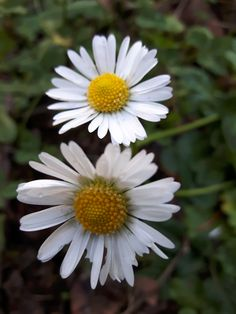 #Daisy in the gardens of #VillaReale - LUCCA, TUSCANY
