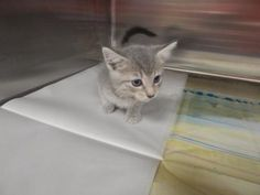 Pebbles - URGENT - PIKE COUNTY ANIMAL SHELTER in Pikeville, Kentucky - ADOPT OR FOSTER - Female Domestic SH Mix KITTEN