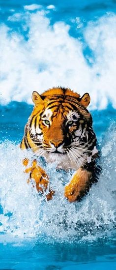 Buy the Brewster Bengal Tiger Direct. Shop for the Brewster Bengal Tiger Bengal Tiger Wall Mural and save. Vida Animal, My Animal, Beautiful Cats, Animals Beautiful, Big Cats, Cats And Kittens, Animals And Pets, Cute Animals, Wild Animals