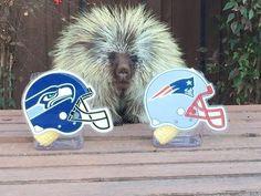 Teddy Bear the Porcupine Predicts Super Bowl XLIX Winner...