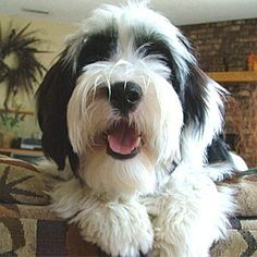 Tibetan Terriers!!  Looks like our Rylee girl!!  :)