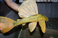 Hypostomus Luteus - Phase 3 at Sun Pet!!! This Guy is MASSIVE!!! Beautiful Tropical Fish, Beautiful Fish, Planted Aquarium, Aquarium Fish, Pleco Fish, River Fish, Plecostomus, Types Of Fish, Discus
