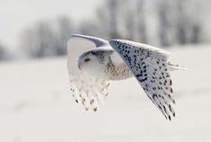 """""""Snowy Owl in Flight"""" by Alex Thomson13, via Flickr."""
