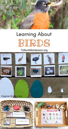 Montessori Resources for Learning About Birds - Trillium Montessori science Montessori Resources for Learning About Birds Montessori Science, Montessori Practical Life, Montessori Homeschool, Montessori Classroom, Montessori Toddler, Preschool Science, Science Activities, Classroom Activities, Preschool Activities