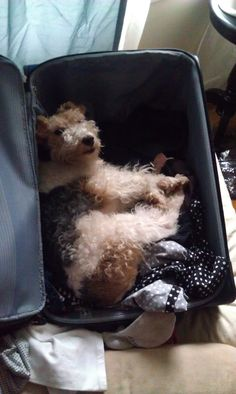 Wire Fox Terrier:  Not your run of the mill stowaway.