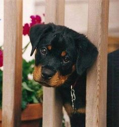 All the things we all admire about the Confident Rottweiler Pup Cute Puppies, Cute Dogs, Dogs And Puppies, Doggies, Animals And Pets, Baby Animals, Cute Animals, German Dog Breeds, Pet Breeds