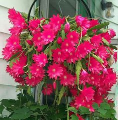 Orchid Cactus. - Beautiful bloom cycle.