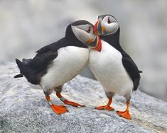 Bonded+and+Banded+-+A+pair+of+adult+Atlantic+Puffins+on+the+breeding+grounds,+in+courtship+-+Bay+of+Fundy
