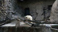 """El Oso Arturo en su hábitat en el zoológico de Mendoza. (DELFO RODRIGUEZ) """"El oso polar está bien pero es viejo para ser trasladado a Canadá"""" CRÍTICAS AL ESTADO DE LOS ANIMALES El director del zoo de Mendoza, Gustavo Pronotto, habló de los cuidados que requiere el oso polar. También se refirió a la muerte del león africano, dada a conocer dos semanas más tarde. http://www.clarin.com/sociedad/Zoo-Mendoza-viejo-trasladado-Canada_0_1148285481.html"""